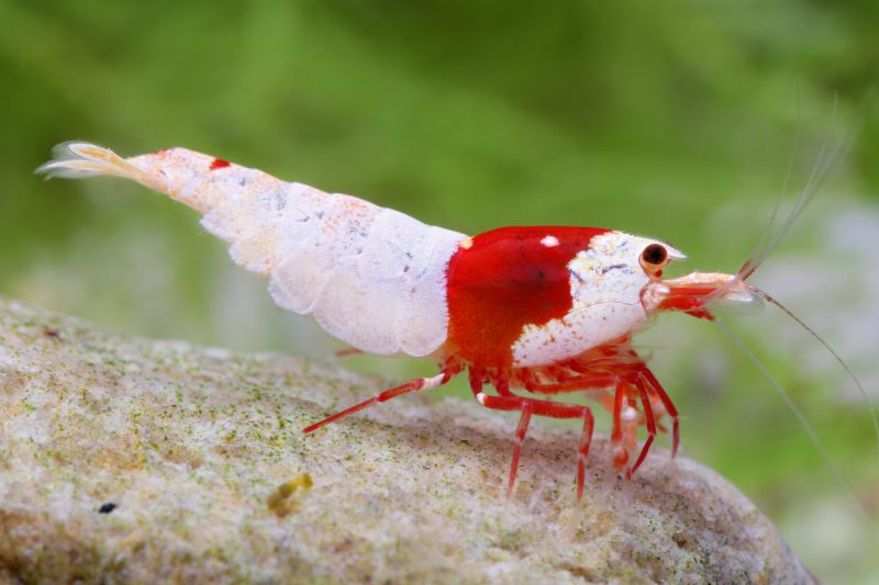 Selective Breeding Shrimp With Limited Space